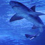 Dünyanın ən yaşlı köpək balığı -VİDEO